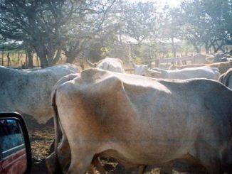Cows Mexico Guatemala